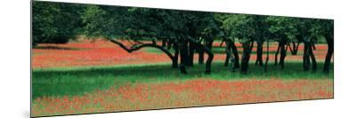 Indian Paintbrushes and Scattered Oaks, Texas Hill Co, Texas, USA--Mounted Photographic Print