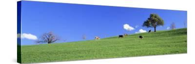 Cows, Canton Zug, Switzerland--Stretched Canvas Print