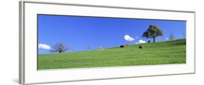 Cows, Canton Zug, Switzerland--Framed Photographic Print