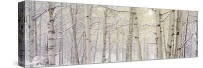 Autumn Aspens with Snow, Colorado, USA--Stretched Canvas Print