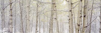 Autumn Aspens with Snow, Colorado, USA--Photographic Print