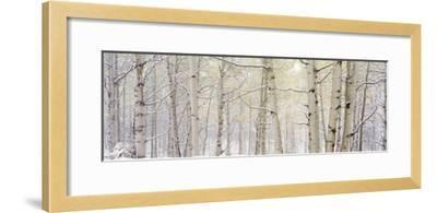 Autumn Aspens with Snow, Colorado, USA--Framed Photographic Print