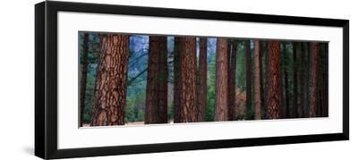 Ponderosa Pines in Yosemite National Park, California, USA--Framed Photographic Print