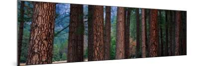 Ponderosa Pines in Yosemite National Park, California, USA--Mounted Photographic Print