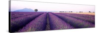Lavender Field, Plateau De Valensole, France--Stretched Canvas Print