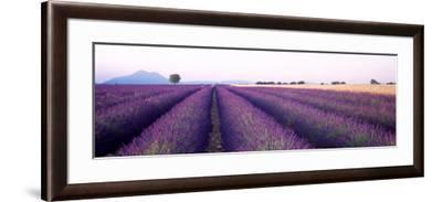 Lavender Field, Plateau De Valensole, France--Framed Photographic Print