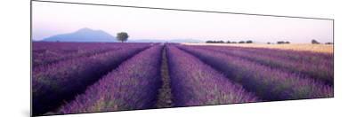 Lavender Field, Plateau De Valensole, France--Mounted Photographic Print