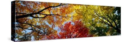 Colorful Trees in Fall, Autumn, Low Angle View--Stretched Canvas Print