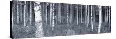 Birch Trees in a Forest, Finland--Stretched Canvas Print