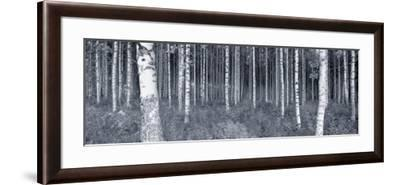 Birch Trees in a Forest, Finland--Framed Photographic Print