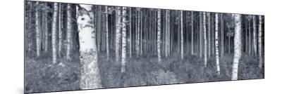 Birch Trees in a Forest, Finland--Mounted Photographic Print