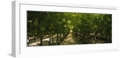 Bunch of Grapes in a Vineyard, Fillmore, California, USA--Framed Photographic Print