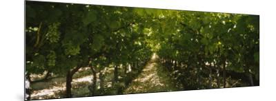 Bunch of Grapes in a Vineyard, Fillmore, California, USA--Mounted Photographic Print