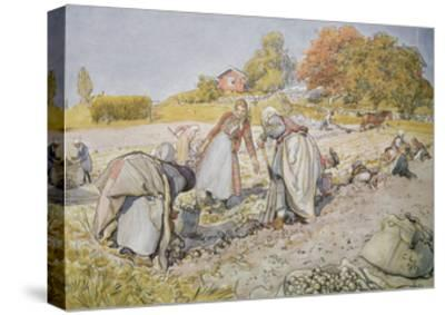 Digging Potatoes, 1905-Carl Larsson-Stretched Canvas Print