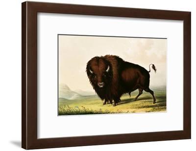 A Bison, circa 1832-George Catlin-Framed Giclee Print