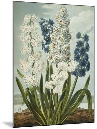 Hyacynths-Robert John Thornton-Mounted Giclee Print