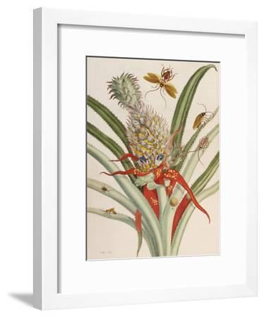 Pineapple (Ananas) with Surinam Insects-Maria Sibylla Merian-Framed Giclee Print