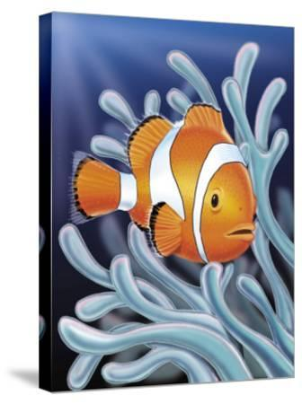 A Clown Fish Swimming by Sea Anemones--Stretched Canvas Print