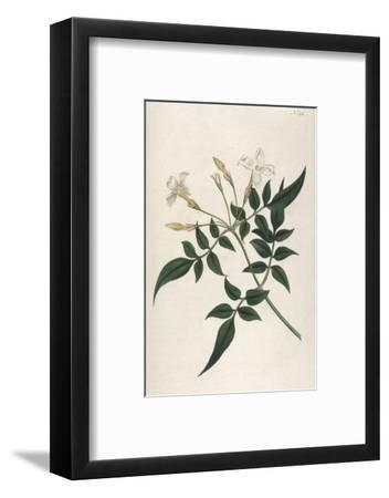 Common Jasmine-William Curtis-Framed Giclee Print