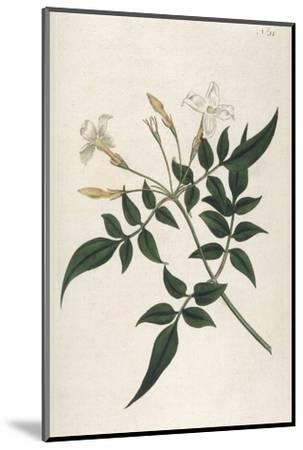 Common Jasmine-William Curtis-Mounted Giclee Print