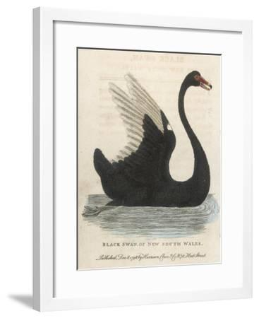 The Black Swan of New South Wales-Harrison Cluse-Framed Giclee Print