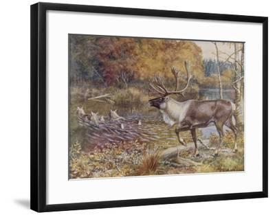 Male Caribou Watches Females Swim Across a River-E. Calawell-Framed Giclee Print
