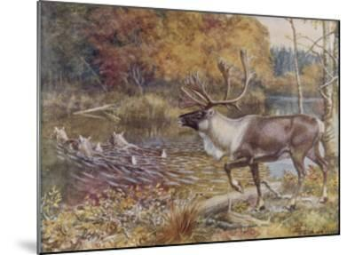 Male Caribou Watches Females Swim Across a River-E. Calawell-Mounted Giclee Print