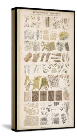 Microscopic Structure of the Texture of Various Parts of the Body-J.s. Cuthbert-Stretched Canvas Print