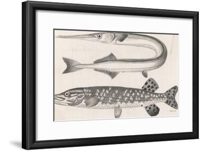 Gar Pike and Common Pike- Heath-Framed Giclee Print