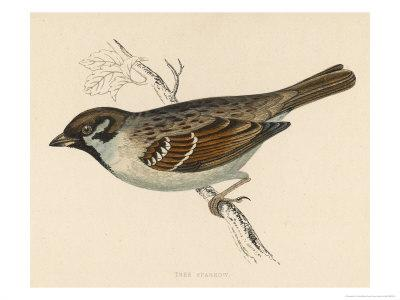 Tree Sparrow-Reverend Francis O^ Morris-Framed Giclee Print