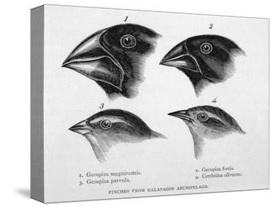 Finches from the Galapagos Islands Observed by Darwin-R^t^ Pritchett-Stretched Canvas Print