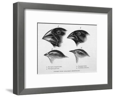 Finches from the Galapagos Islands Observed by Darwin-R^t^ Pritchett-Framed Giclee Print