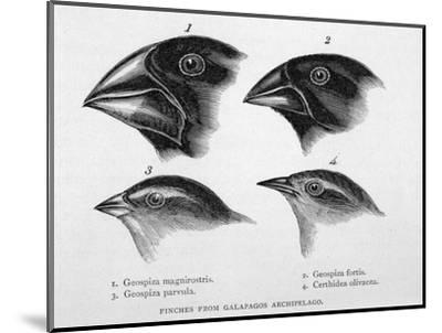 Finches from the Galapagos Islands Observed by Darwin-R^t^ Pritchett-Mounted Giclee Print