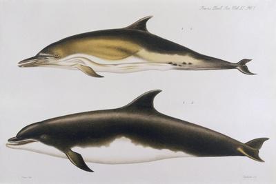 Two Varieties of Dolphin: Delphinus Delphis (Top) Delphinus Tursio-J. Smit-Stretched Canvas Print