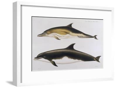 Two Varieties of Dolphin: Delphinus Delphis (Top) Delphinus Tursio-J. Smit-Framed Giclee Print