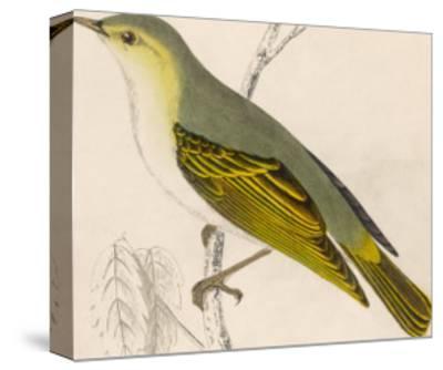 Wood Warbler-Reverend Francis O^ Morris-Stretched Canvas Print