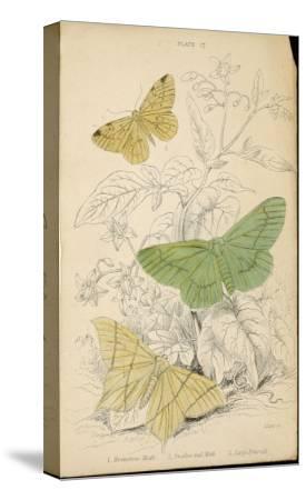 Brimstone Moth Swallowtail Moth Large Emerald- Lizars-Stretched Canvas Print