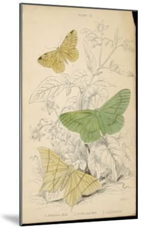 Brimstone Moth Swallowtail Moth Large Emerald- Lizars-Mounted Giclee Print