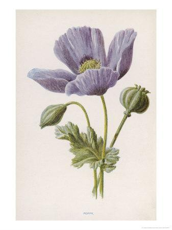 An Opium Poppy-F^ Edward Hulme-Framed Giclee Print