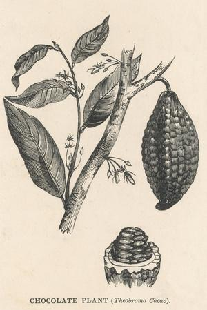 Cocoa (Or Chocolate) Plant Bearing Fruit Theobroma Cacao--Stretched Canvas Print