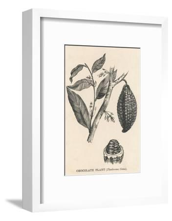 Cocoa (Or Chocolate) Plant Bearing Fruit Theobroma Cacao--Framed Giclee Print