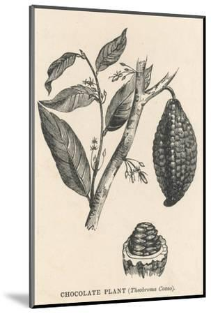Cocoa (Or Chocolate) Plant Bearing Fruit Theobroma Cacao--Mounted Giclee Print