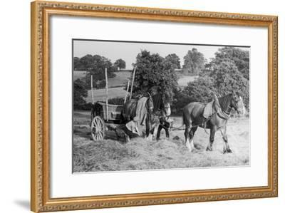 Harvesting in Kent with a Pair of Shire Horses--Framed Giclee Print