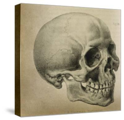 Illustration of the Skull of a Bushman of the Hottentot Tribe Africa--Stretched Canvas Print