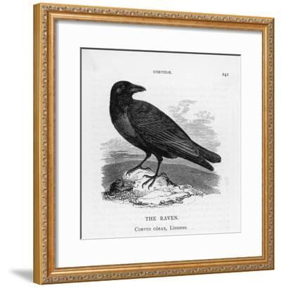 Raven (Corvus Corax) Perching on a Rock--Framed Giclee Print