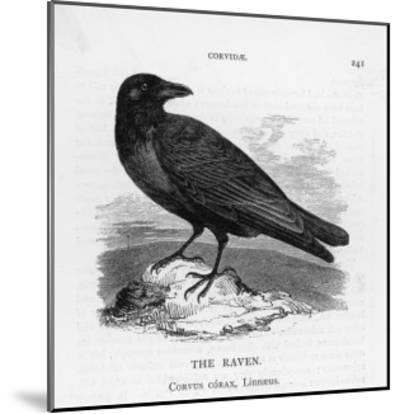 Raven (Corvus Corax) Perching on a Rock--Mounted Giclee Print