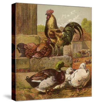 Cock and Hen Watch as Ducks Waddle by in a Farmyard--Stretched Canvas Print