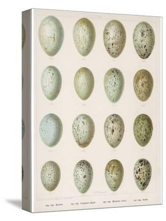 Eggs of Raven Crows Rooks and Jackdaws--Stretched Canvas Print
