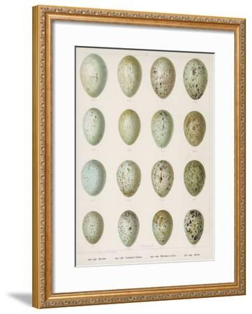 Eggs of Raven Crows Rooks and Jackdaws--Framed Giclee Print