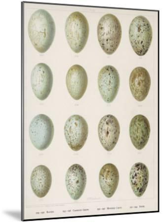 Eggs of Raven Crows Rooks and Jackdaws--Mounted Giclee Print